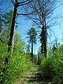 MOs810 WG 2018 8 Zaleczansko Slaski (Klesniska, gm. Lipie, forests) (4).jpg