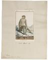 Macacus ecaudatus - 1798-1803 - Print - Iconographia Zoologica - Special Collections University of Amsterdam - UBA01 IZ20000057.tif
