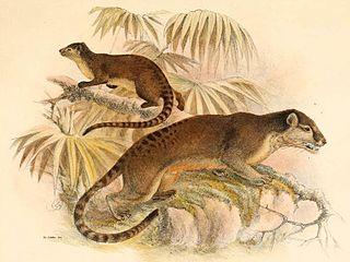 Sulawesi palm civet species of mammal