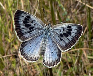 English: Large Blue butterfly, Maculinea arion...