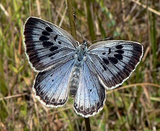 Lycaenidae - The large blue, a lycaenid butterfly