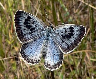 Large blue - Upperside