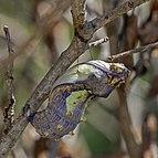 Madagascar giant swallowtail (Pharmacophagus antenor) chrysalis.jpg
