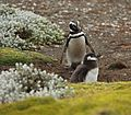 Magellanic Penguins at Otway Sound, Chile (5520674205).jpg