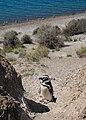 Magellanic penguin, Valdes Peninsula, b.jpg