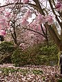 Magnolia Blossom in Valley Gardens - geograph.org.uk - 1801159.jpg