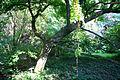 Magnolia kobus 'Borealis' JPG1a.JPG