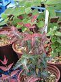 Mahonia nevinii new foliage (8838408888).jpg