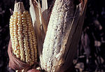 Maize damaged by maize weevil, Sitophilus zeamais 01.jpg