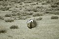 Male Greater Sage-Grouse (6948112024).jpg