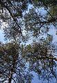 Malokahovka Pinery 07 (YDS 1253).jpg