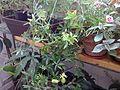 Malpighiales - Passiflora caerulea 3.jpg