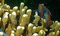 Mandarinfishes (Synchiropus splendidus) mating (8467394835).jpg
