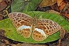 Mandinga forester (Bebearia mandinga mandinga) female.jpg