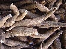 Raízes de mandioca após colheita