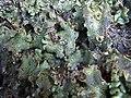 Marchantia polymorpha (2).jpg