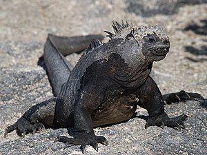 Gene flow - Marine iguana of the Galapagos Islands evolved via allopatric speciation, through limited gene flow and geographic isolation.