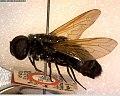 Marleyimyia goliath BMNH(E)258144.jpg