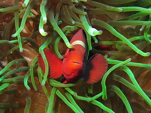 Maroon clownfish at Gilli Lawa Laut
