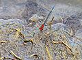Masai Sprite (Pseudagrion massaicum) male (13948745632).jpg