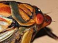 Masked Devil Cicada (5079731827).jpg