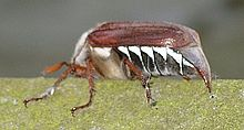 220px-May_bug_on_windowsill.jpg