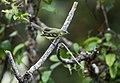 Mecocerculus minor - Sulphur-bellied Tyrannulet.jpg