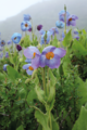 Meconopsis gakyidiana.png