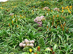 Flora of the Antipodes Islands - A megaherb community