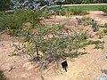 Melaleuca cordata.jpg