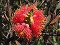 Melaleuca fulgens (flowers 2).JPG