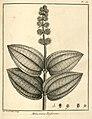 Melastoma rufescens Aublet 1775 pl 157.jpg