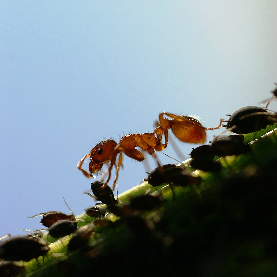 Melkende ameisen honigtau4