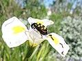 Meloidae Actenodia CMR beetle 0611.jpg