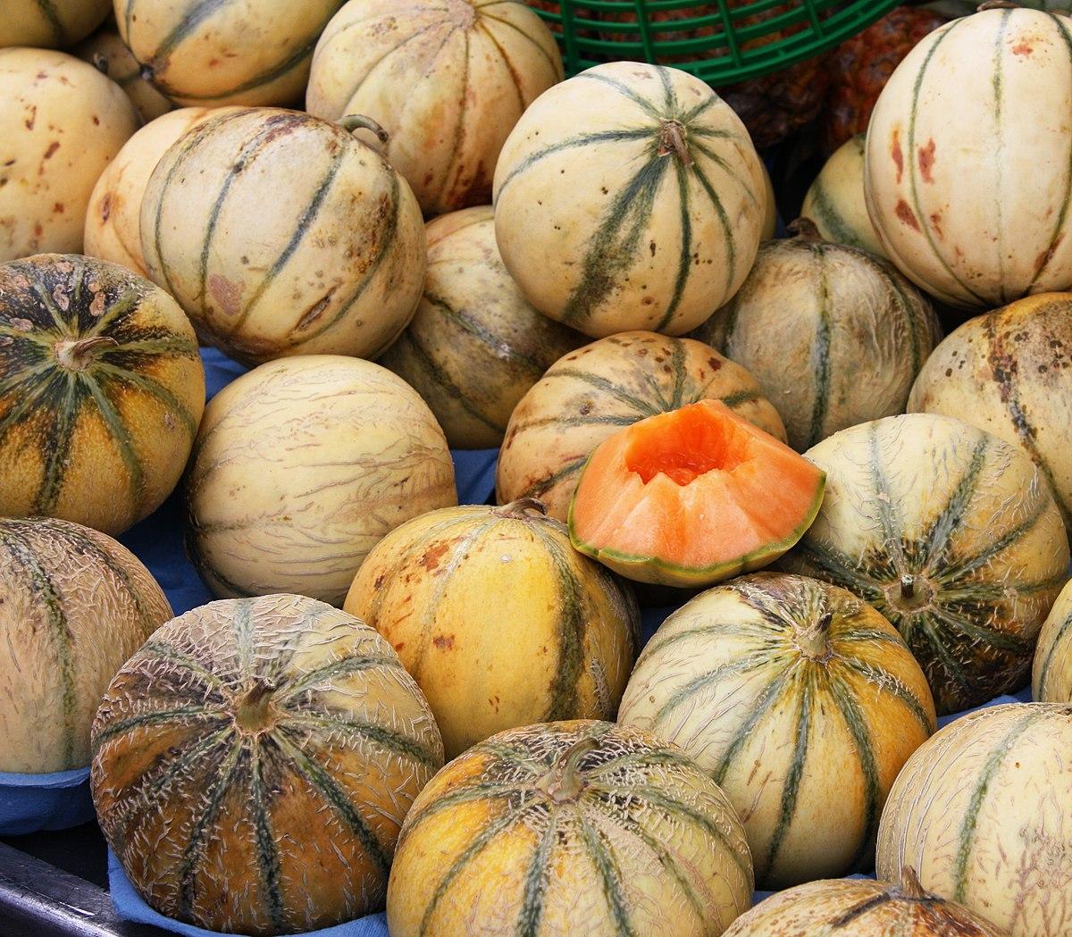 Melon de lectoure wikip dia - Culture du melon charentais ...