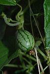 Melothria scabra fruit
