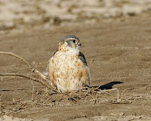 Merlin (bird) - Male (presumably F. c./a. pallidus) wintering in Little Rann of Kutch (Gujarat, India)