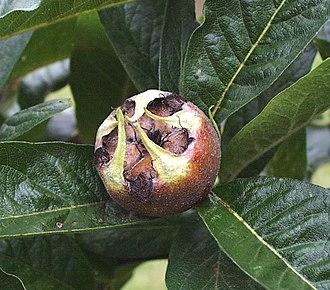 Mespilus - Medlar fruit, cv. 'Nefle Precoce'