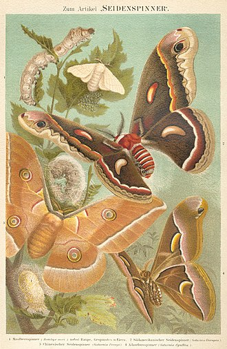 Silk - Four of the most important domesticated silk moths. Top to bottom:  Bombyx mori, Hyalophora cecropia, Antheraea pernyi, Samia cynthia.   From Meyers Konversations-Lexikon (1885–1892)