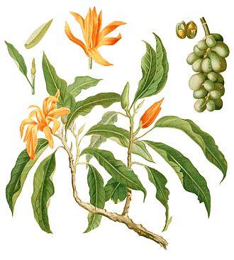 Magnolia champaca - Image: Michelia champaca Blanco 1.191 cropped