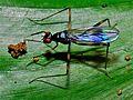 Micropezid Fly (Mimegralla sp.) (fuelleborni ?) (7080123259).jpg