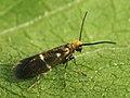 Micropterix aruncella - Мелкокрыл полосатый (40142990275).jpg