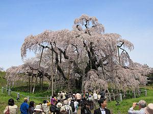 Cherry blossom - The Miharu Takizakura in Fukushima
