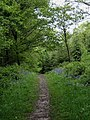 Minor path with bluebells in Wyre Forest - geograph.org.uk - 1307203.jpg