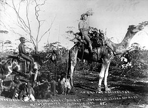 Australian feral camel - A prospector riding a camel which held a world record for distance travelled without water (600 miles), 1895