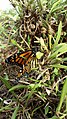 Monarch Butterfly at Sellicks Beach.jpg