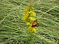Monarch on Goldenrod (5230034900).jpg