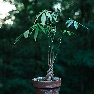 Pachira aquatica - Ornamental money tree.