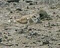 Mongolian Plover (Charadrius mongolus).jpg