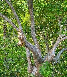 Monkey in sundarban.jpg